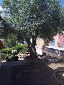 Olivenbaum_Casa_de_Lev